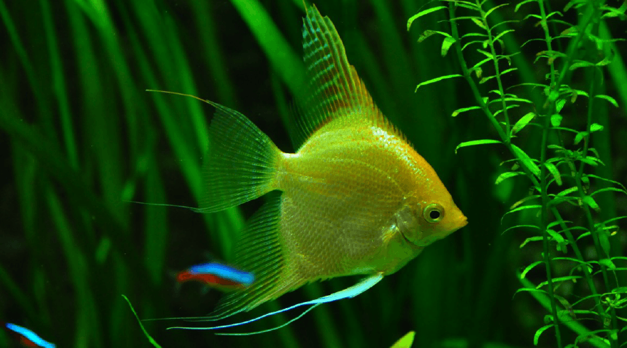 complete freshwater angelfish set up and care guide