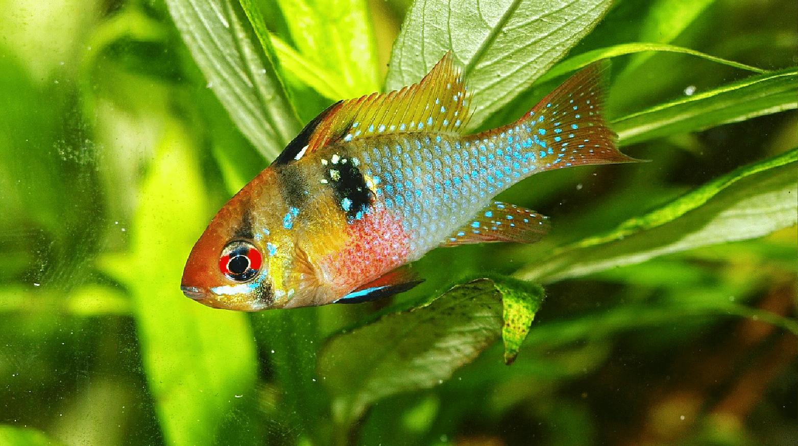 Blue Ram Cichlid Breeding And Care Guide - Build Your Aquarium
