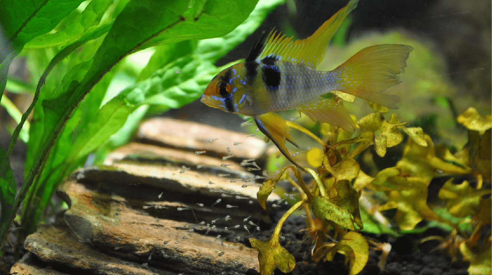 Blue Ram Cichlid Breeding And Care Guide Build Your Aquarium