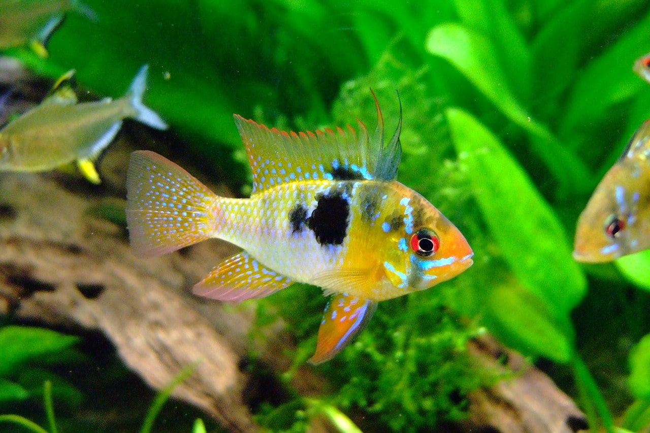 15 Great Angelfish Tank Mates (Complete Compatibility Guide)