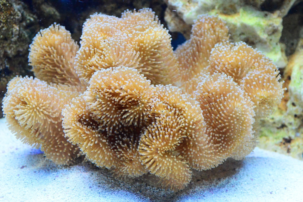 Five Easy Soft Corals That Anyone Can Keep