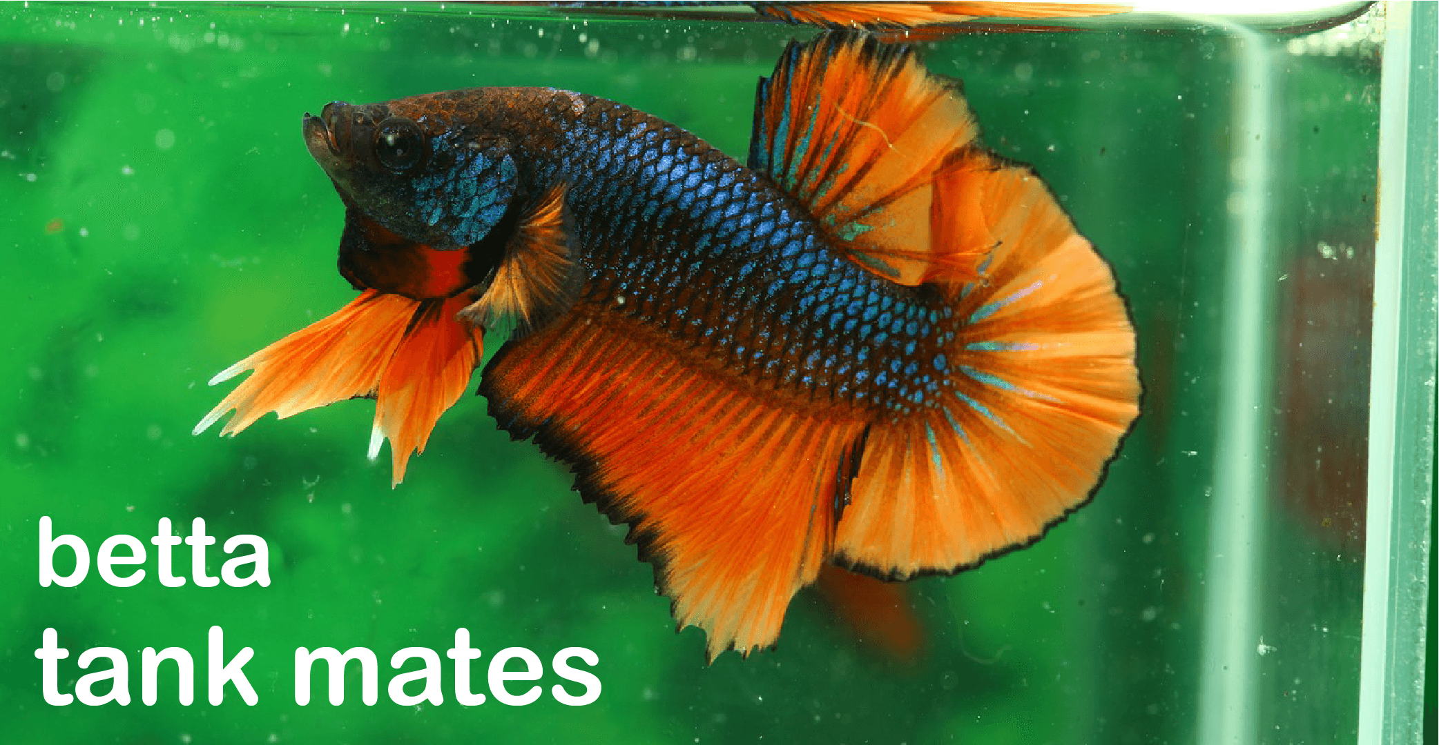 11 compatible betta fish tank mates complete list for Where to buy betta fish