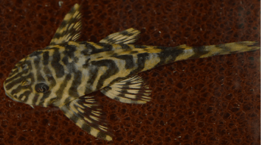 clown pleco