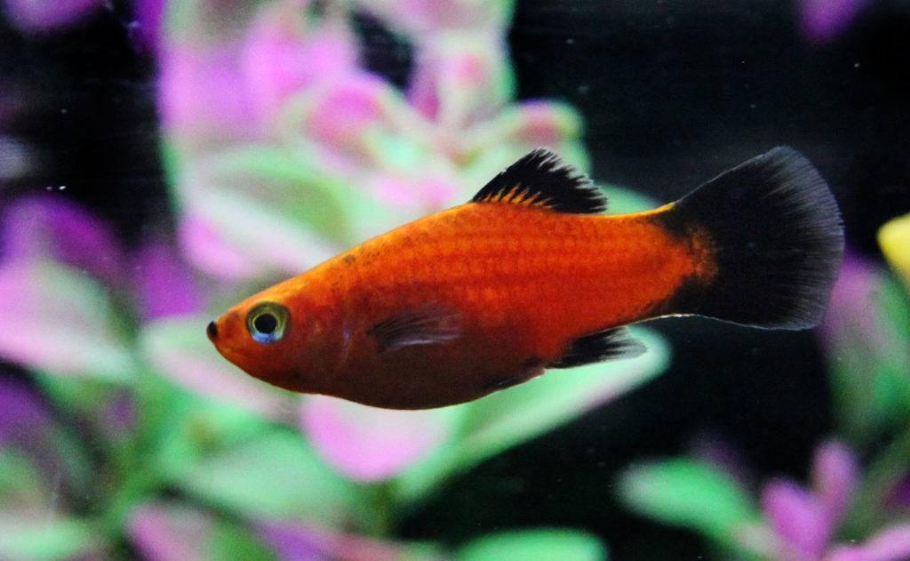 platy fish