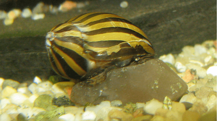 zebra snail