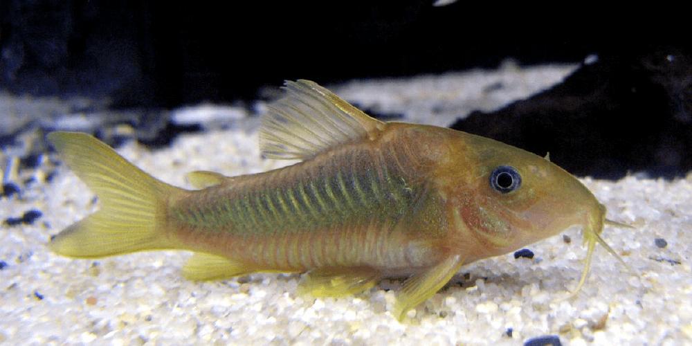 corydora catfish