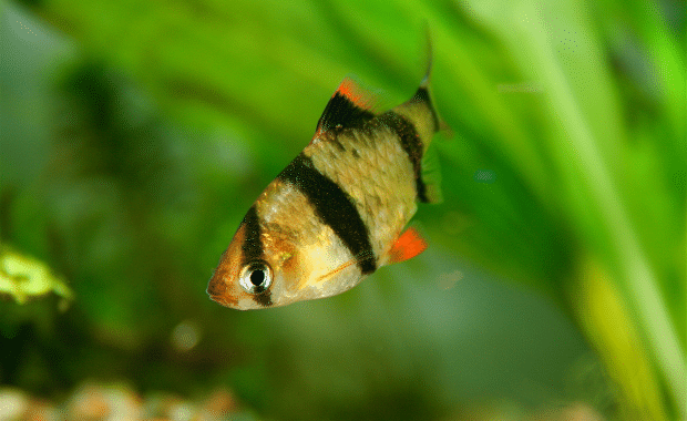 14 Compatible Tiger Barb Tank Mates The Complete List