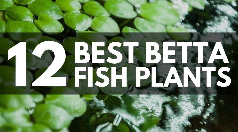 BEST BETTA PLANTS