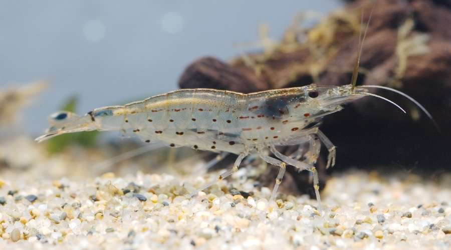 amana shrimp