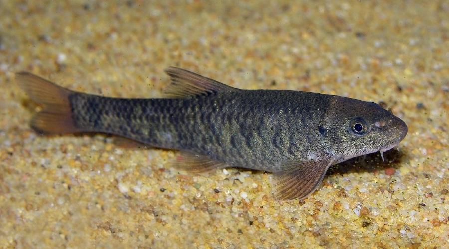 garra fish
