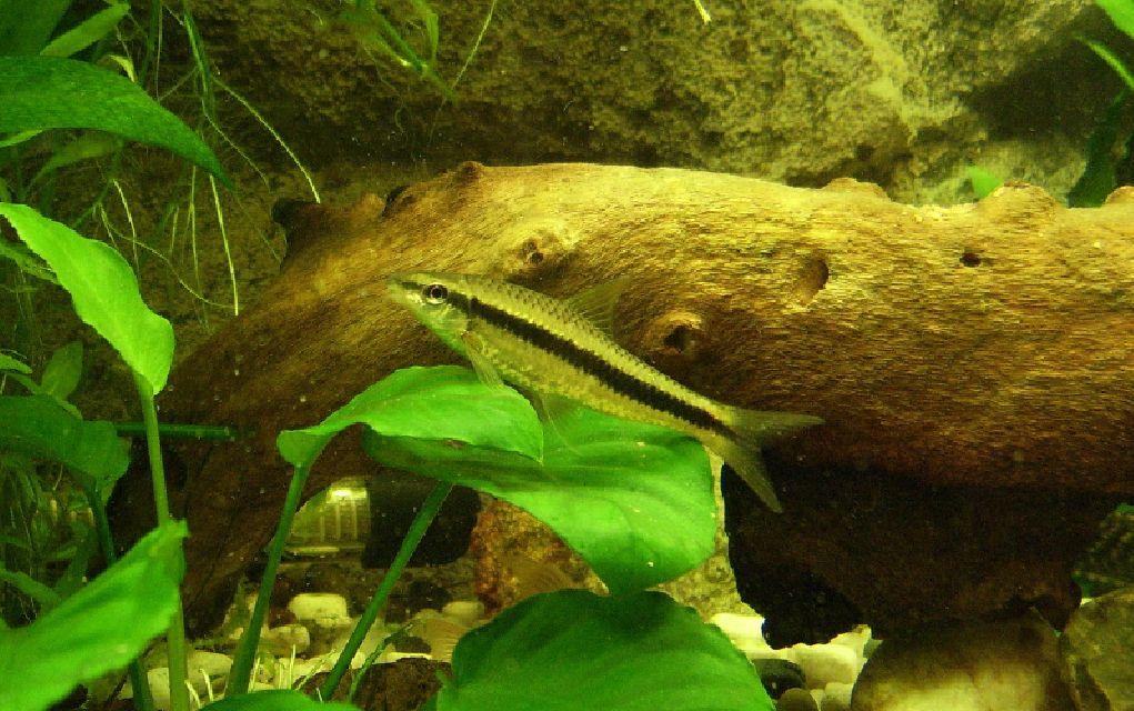 13 best algae eaters for your freshwater aquarium complete guide