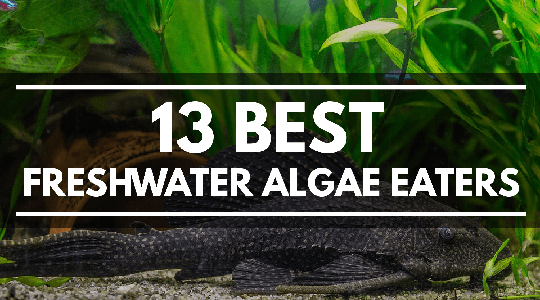 best freshwater algae eaters