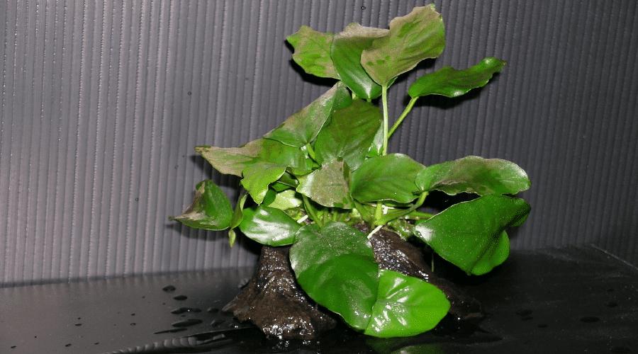 Coffee leaf anubias