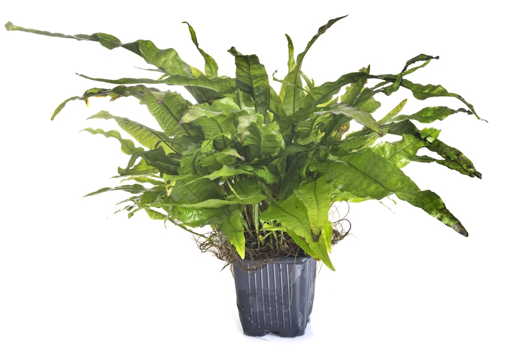 Microsorum pteropus - java fern
