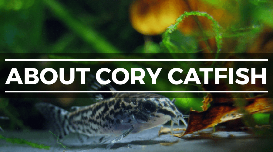 about cory catfish