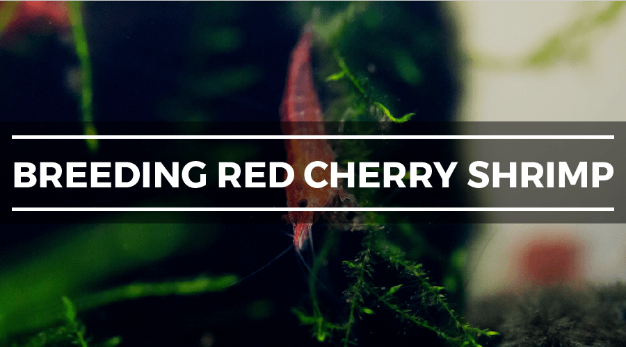 breeding red cherry shrimp
