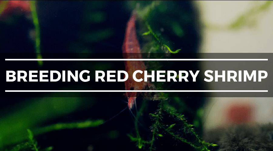 breeding red cherry shrimp