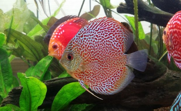 15 Attractive & Colorful Freshwater Fish (And How To Care For Them)