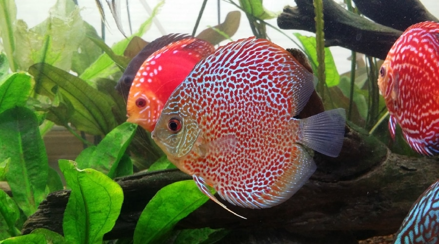 15 attractive colorful freshwater fish and how to care for them