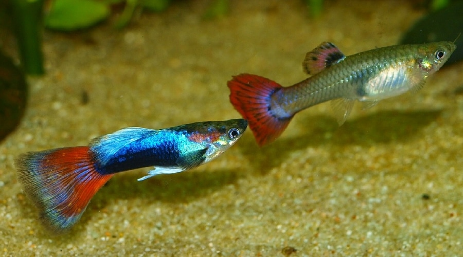 fantail guppies