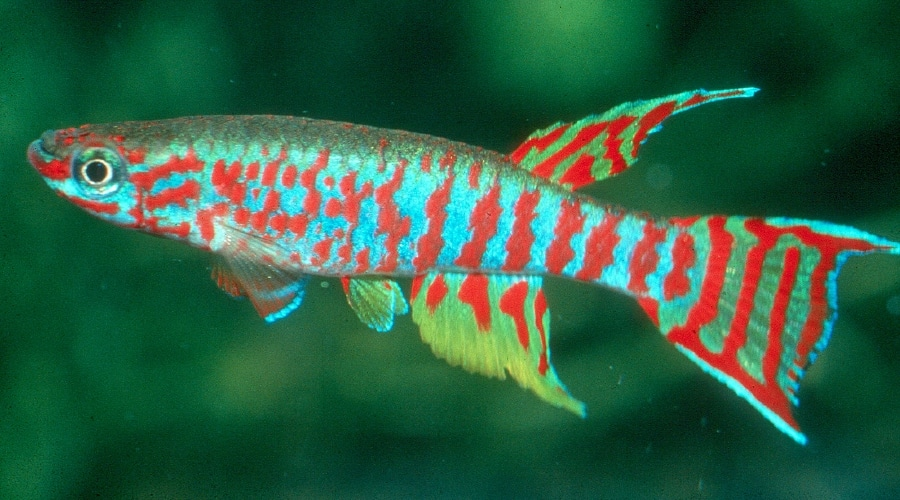15 Attractive & Colorful Freshwater Fish (And How To Care ...