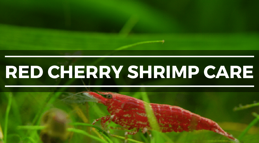 red cherry shrimp care