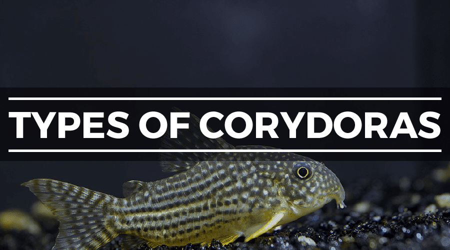 cory catfish types