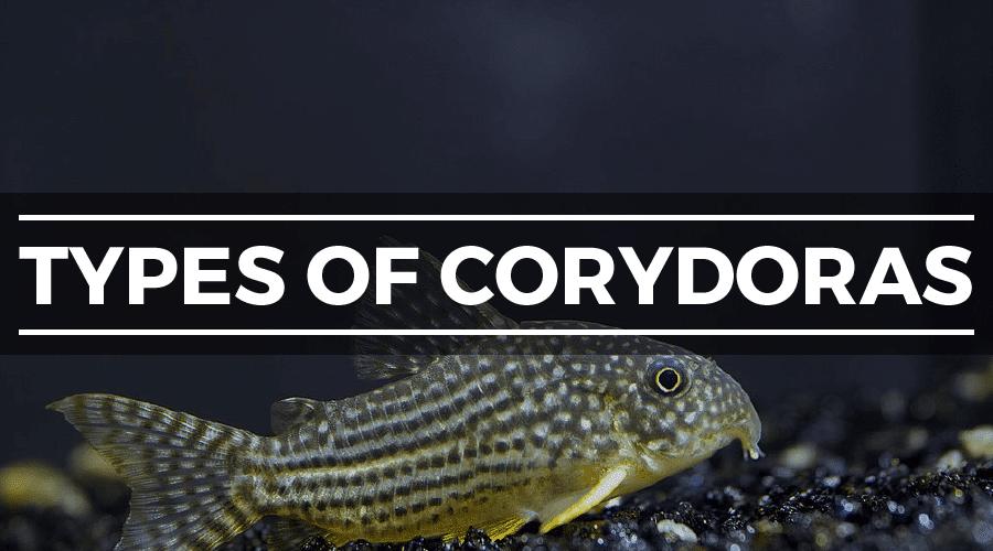 cory catfish types