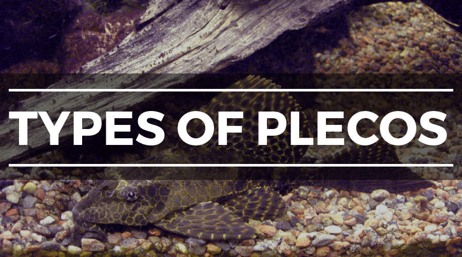 TYPES OF PLECOS