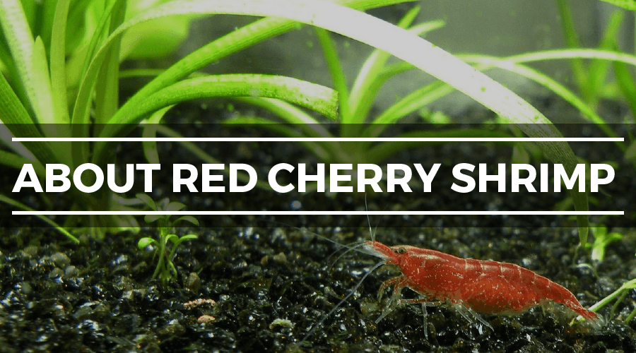 about red cherry shrimp