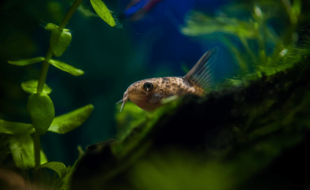 Cory Catfish (Corydoras): The Complete Care, Breeding, & Info Guide