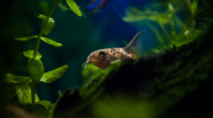 cory catfish corydoras the complete care breeding info guide