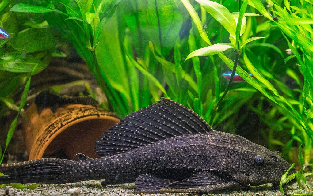 10 Common Species of Plecostomus: Pleco Types & Care Guide