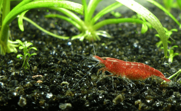 Red Cherry Shrimp: The Ultimate Care, Setup, & Breeding Guide