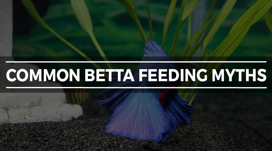 betta feeding myths