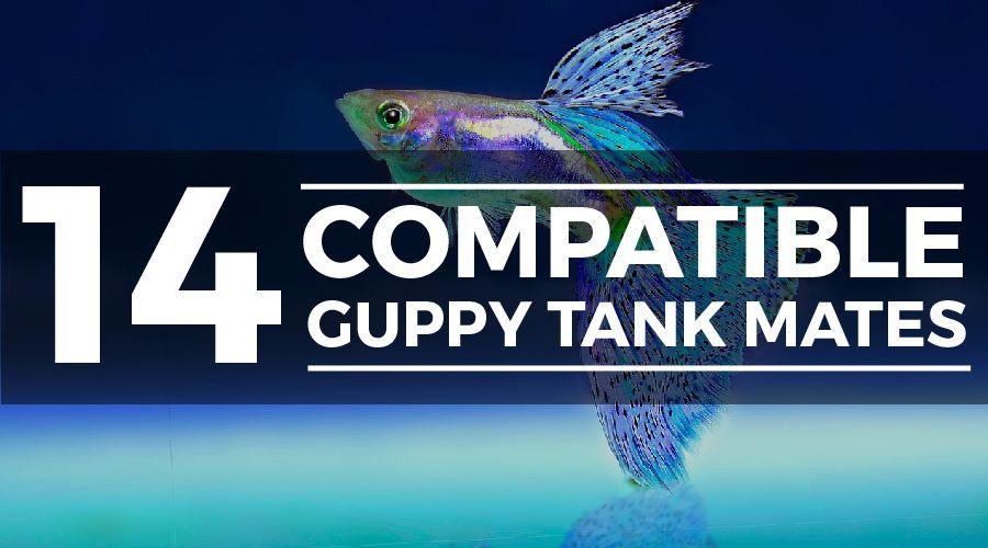 guppy tank mates