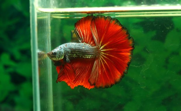 Best Betta Fish Food: How to Feed Your Betta the Perfect Diet (GUIDE)
