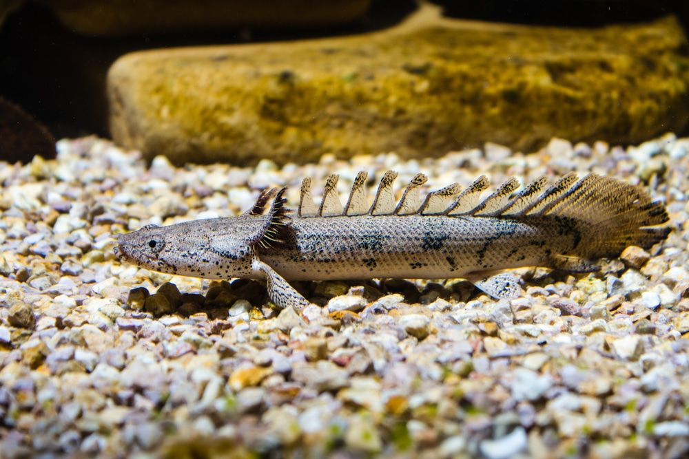 bichir fish in aquarium