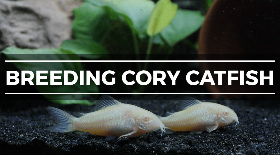 cory catfish breeding