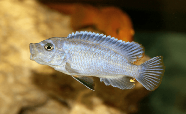 15 Awesome Types of Cichlids for Your Tank (Cichlid Species Guide)