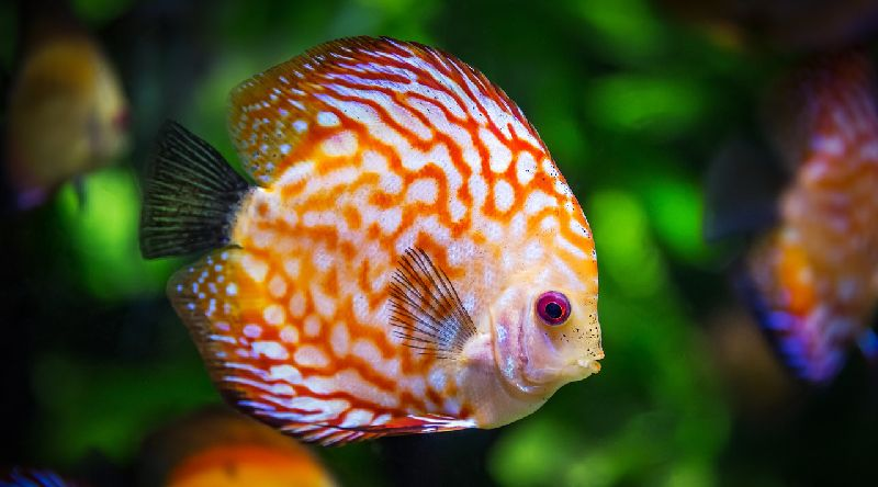 15 Awesome Types Of Cichlids For Your Tank Cichlid Species Guide