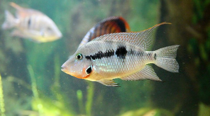 11 Easiest Fish To Breed With Pictures Freshwater Species Guide