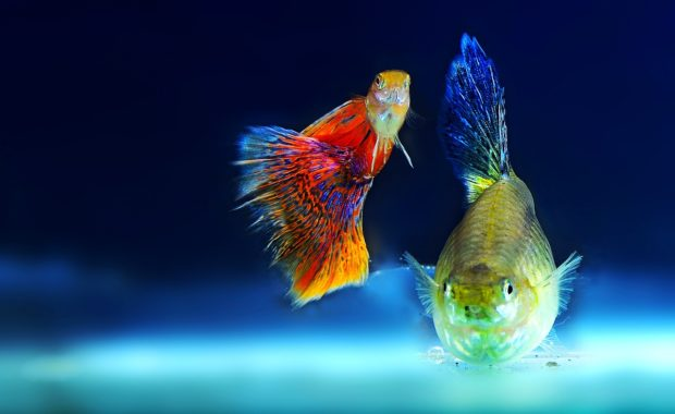 14 Awesome Guppy Tank Mates (Compatibility Guide)