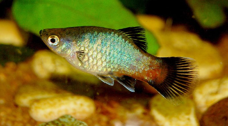 14 Awesome Guppy Tank Mates Compatibility Guide