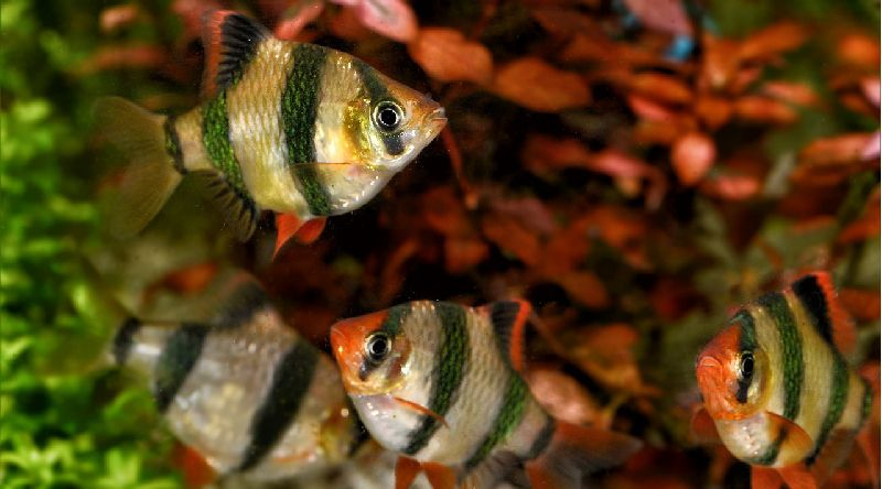 16 awesome freshwater aquarium fish for beginners species guide