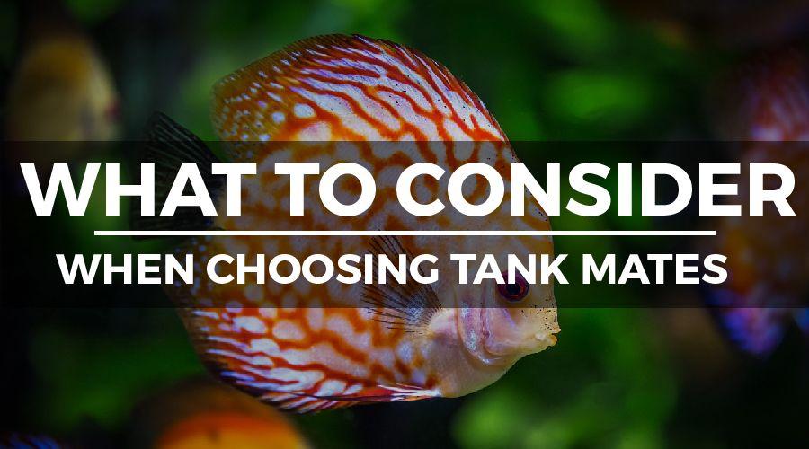 CHOOSING DISCUS TANK MATES