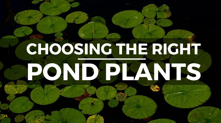 choosing pond plants