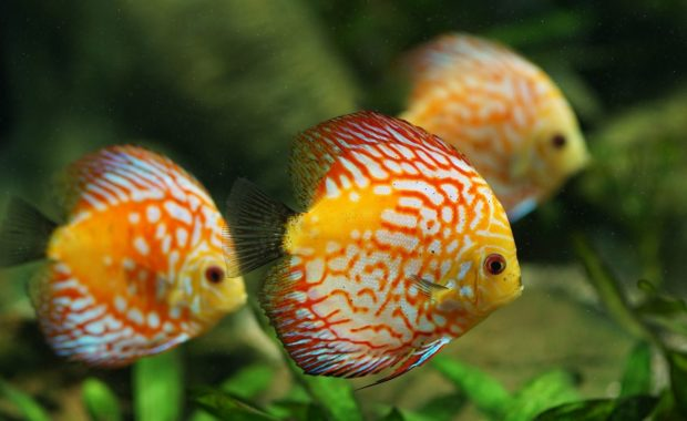 9 Perfect Discus Tank Mates (Complete Compatibility Guide)