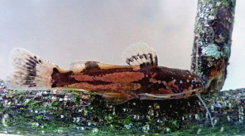 Microglanis