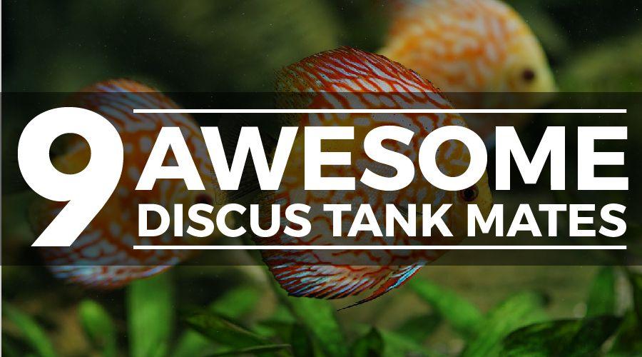discus tank mates